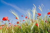 Wheat field and poppies in summer day — Stok fotoğraf