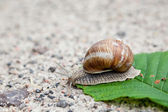 Snail on green leaf in spring day — Stock Photo