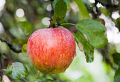 Red apple on tree — Foto Stock