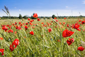 Wheat field and poppies in summer day — Stock Photo