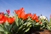Red tulip flowers in park — Stock Photo