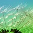 Macro of dandelion flower - Stock Photo