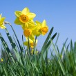 Daffodil flowers on meadow - Stock Photo