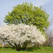 Trees in park covered by white flowers and green leaves in spring day - Stock Photo