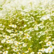 Royalty-Free Stock Photo: Spring camomile field