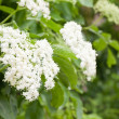 Elderberry flower on bush — Stock Photo