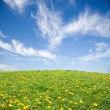 Stock Photo: Green grass with yellow dandelion flowers against blue sky