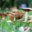 Group of poisonous mushrooms — Stock Photo