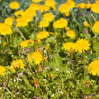 Lots of yellow dandelions - Stock Photo