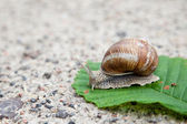 Snail on green leaf — Stock Photo