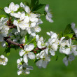Apple blossom branch. Close-up. - Stock Photo
