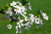 Apple blossom branch. Close-up. — Stock Photo