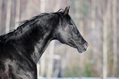 Black horse portrait in winter — Stock Photo