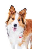 Dog isolated on white, border collie, portrait — Stock Photo