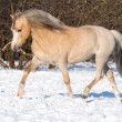 Palomino Welsh pony runs trot on the snow — Стоковая фотография