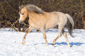 Palomino Welsh pony runs trot on the snow — Stock Photo
