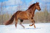 Chestnut horse runs gallop in winter — Stock Photo