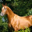 Beautiful golden red Don horse portrait — Stock Photo