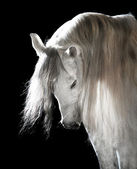 White Andalusian horse on the dark background — Stock Photo