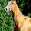 Red golden horse akhal-teke portrait in summer - Stock Photo