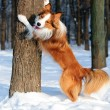 Border collie yang dog play in winter — Stock Photo