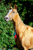 Red golden horse akhal-teke portrait in summer — Stock Photo
