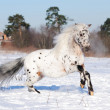 Appaloosa pony runs gallop in winter — Stock Photo