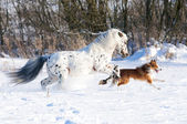 Appaloosa pony and border collie runs gallop in winter — Stock Photo