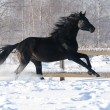 Russian riding horse black coat runs gallop in winter — Stock Photo #8970706