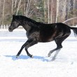 Russian riding horse black coat runs gallop in winter — Stock Photo #8970753