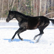 Russian riding horse black coat runs gallop in winter — Stock Photo
