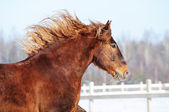 Red horse runs gallop in winter — Stock Photo