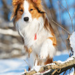 Sable (red) border collie portrait in winter — Stock Photo