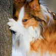Red border collie and tree, close up — Stock Photo