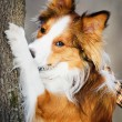 Sable (red) border collie and tree, close up — Stock Photo