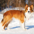 Sable (red) border collie standing on the snow in winter — Stock Photo #8985974