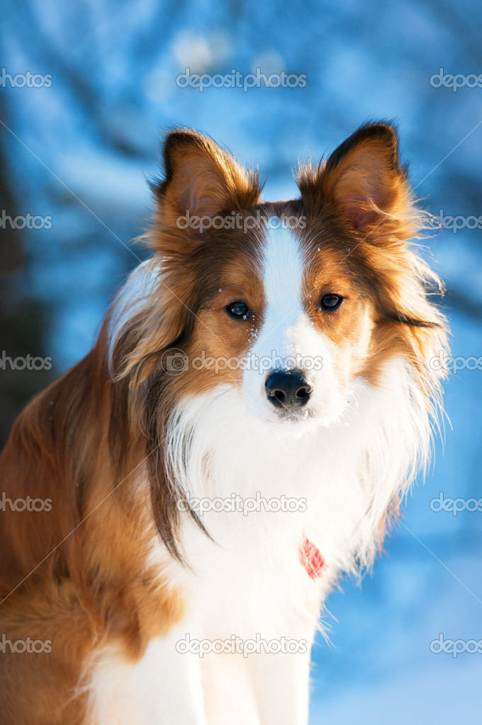 Red border collie portrait, close up  Stock Photo #8985934