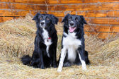 Two black and white border collies on the hay — Stock Photo