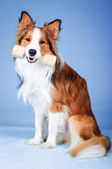 Color sable border collie tooks aport — Foto de Stock