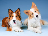 Two border collies in a studio, training dogs — Stock Photo