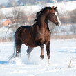 Welsh pony stallion runs gallop in winter — Stock Photo