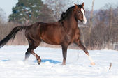 Brown Welsh brown pony stallion runs trot in winter — Stock Photo