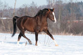 Welsh brown pony stallion runs trot in winter — Stock Photo