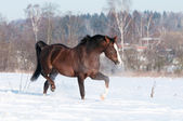 Welsh brown pony stallion runs trot, winter — Stock Photo