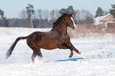 Welsh brown pony stallion runs gallop, winter — Stock Photo
