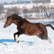 Stock Photo: Welsh brown pony stallion gallop in winter