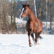Welsh brown pony stallion runs trot in front — Stock Photo