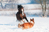 Welsh pony and dog play in winter — Stock Photo