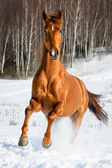 Red horse runs gallop in winter — Stock Photo