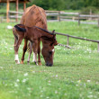 Stock Photo: Foal and mare